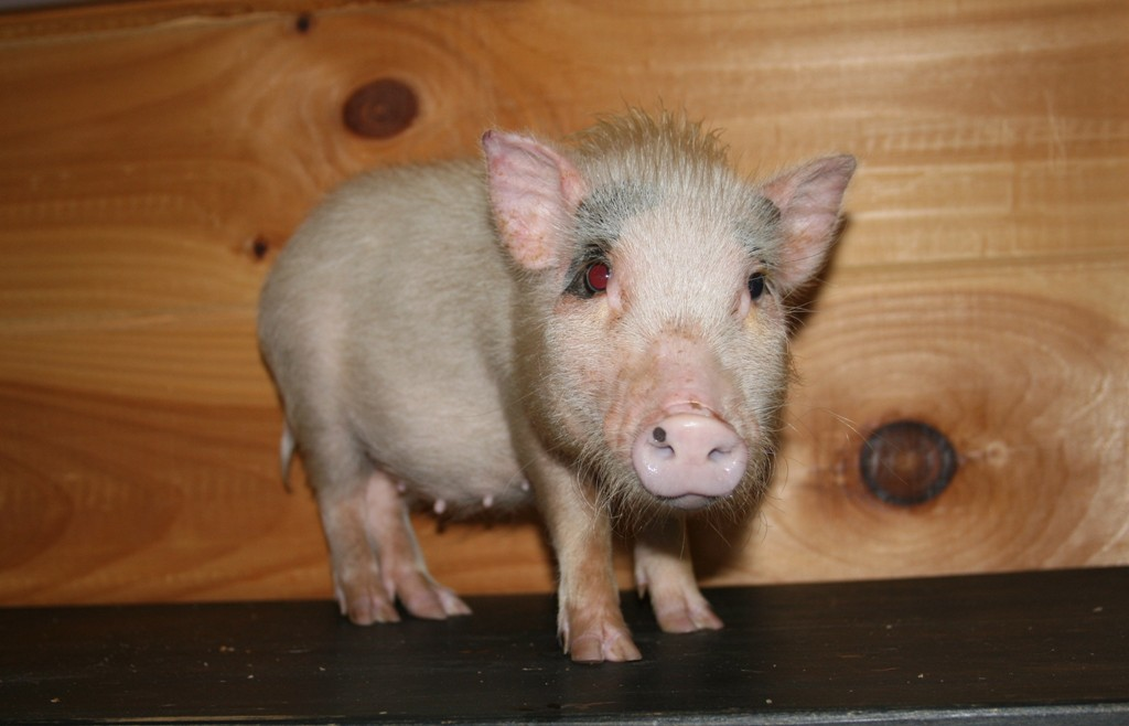 Miniature Potbellied Pigs