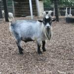 Miniature African Pygmy Goats