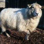 Miniature Shetland Sheep