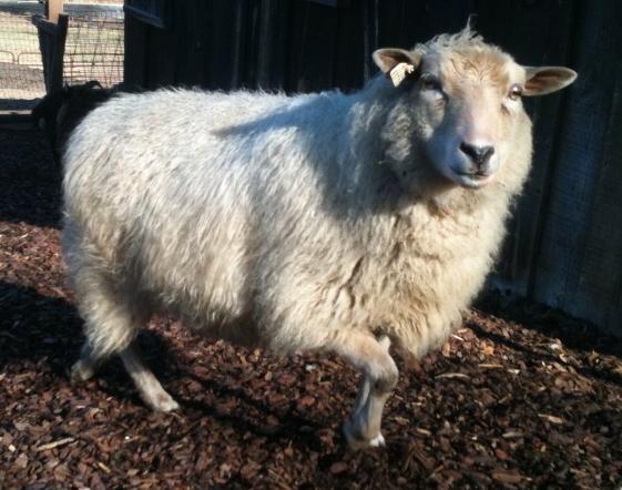 Miniature Shetland Sheep