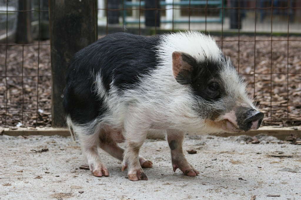 Full grown teacup potbelly pigs