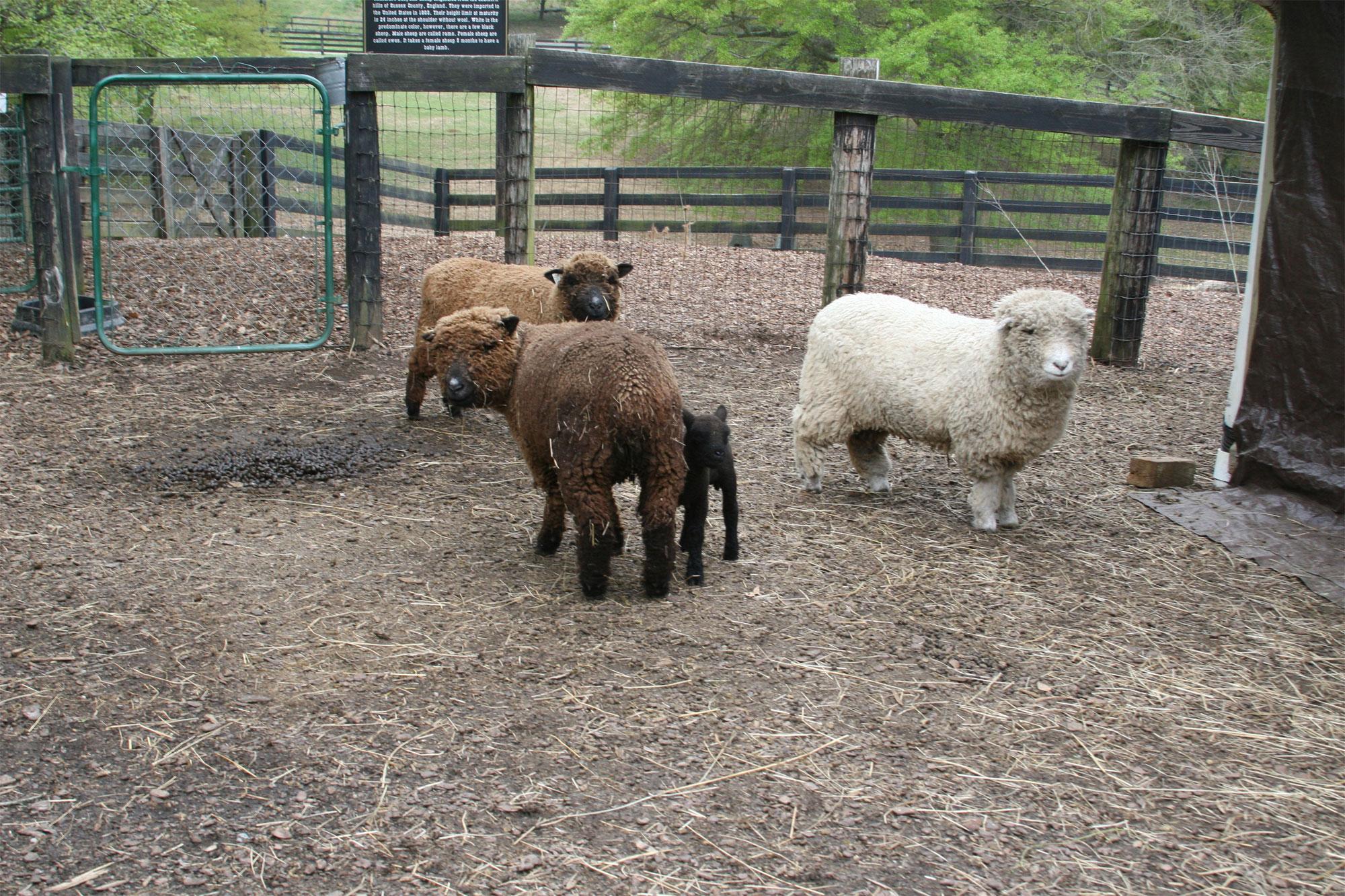 Miniature Babydoll Southdown Sheep