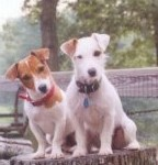Miniature Jack Russell Terriers