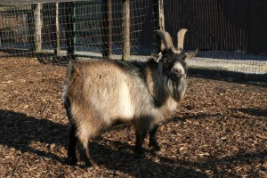 Miniature Goats - Tanglewood Farm Miniatures