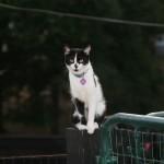Miniature Manx Cats