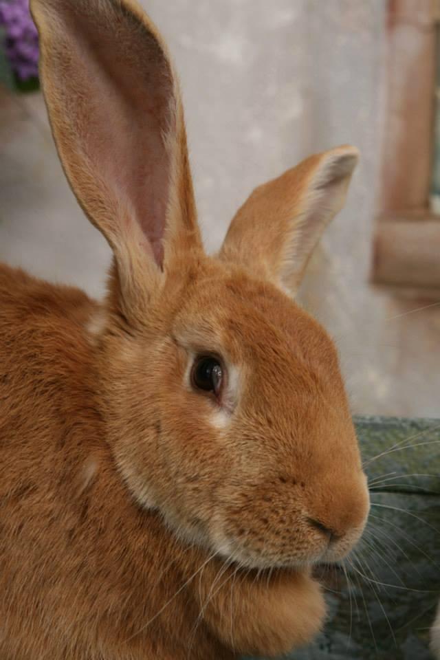 Giant Flemish Rabbits