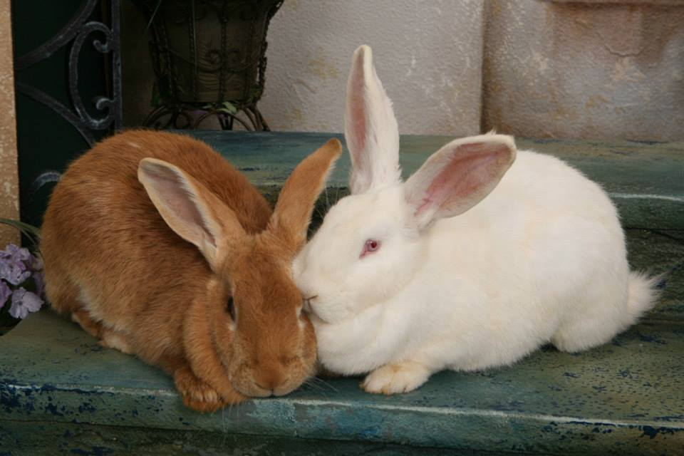 Giant Flemish Rabbits Tanglewood Farm Miniatures