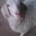 Navajo Heritage Angora Goats