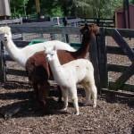 Miniature Llamas - Alpacas