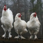 Langshan chickens