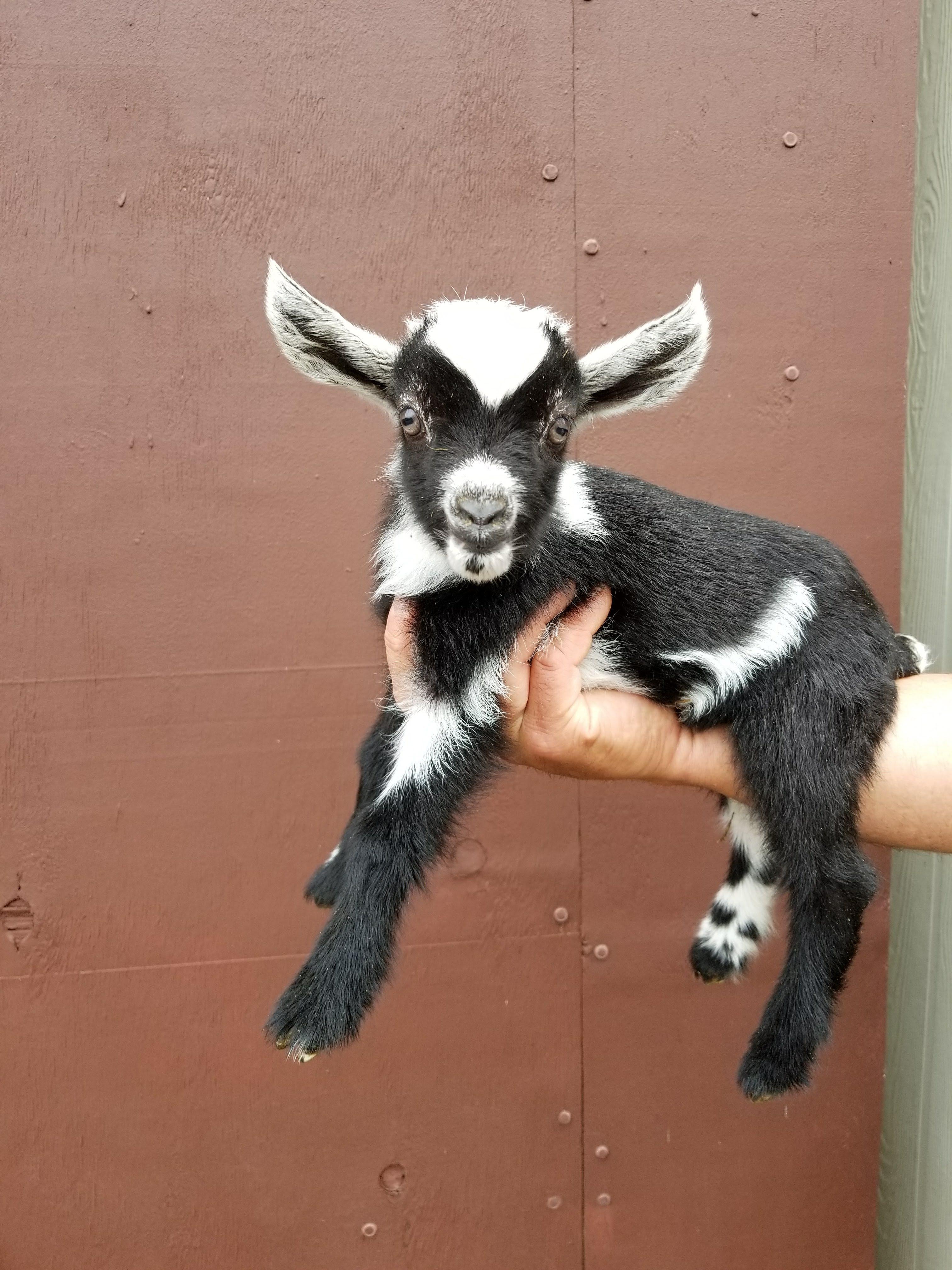 Miniature Nigerian Dwarf Goats - Tanglewood Farm Miniatures