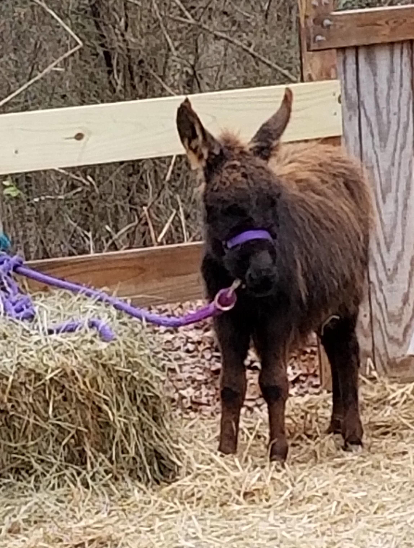 Miniature Donkeys - Tanglewood Farm Miniatures