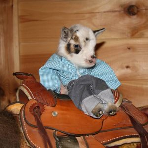 Miniature Nigerian Dwarf Goats for Sale