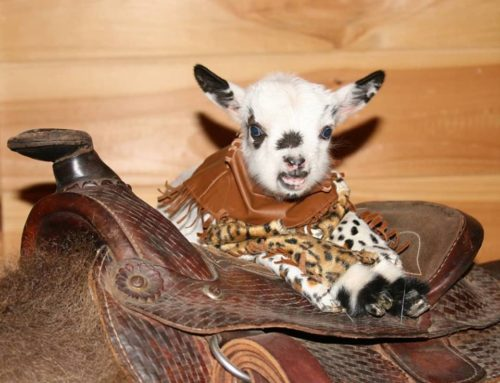 New Year Baby Miniature Goats!