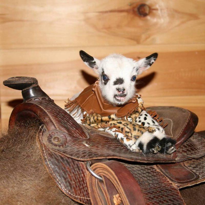 Miniature Nigerian Dwarf Goats for Sale