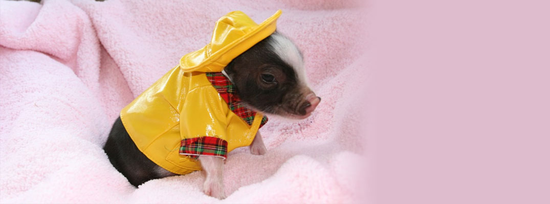 Miniature Potbellied Pigs For Sale