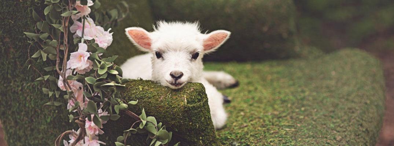 Miniature Shetland Sheep For Sale